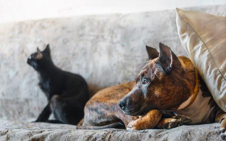 kampfhund: Fighting dog and her black cat resting on sofa Lizenzfreie Bilder
