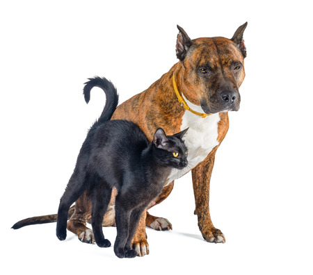 lovingly: Cat and dog together isolated on white. Little black cat lovingly rubs against the red pit bull. Stock Photo