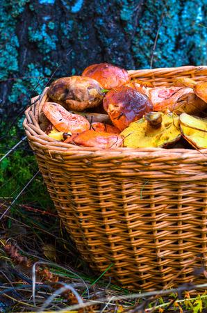 milkcap: Edible mushrooms in a basket in the woods