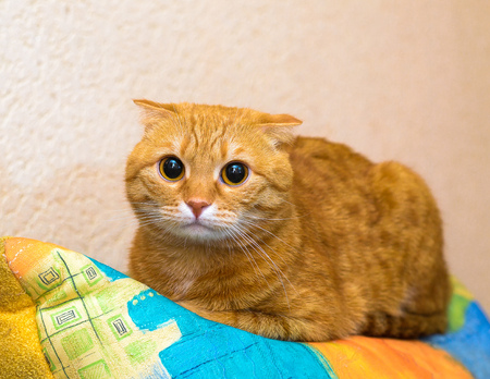 red scottish fold cat looking at the camera
