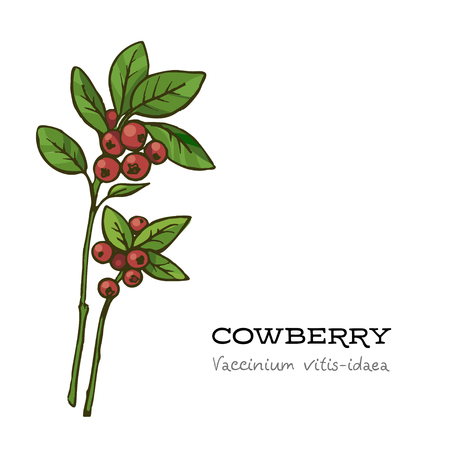 Vector Hand drawn red lingonberry,