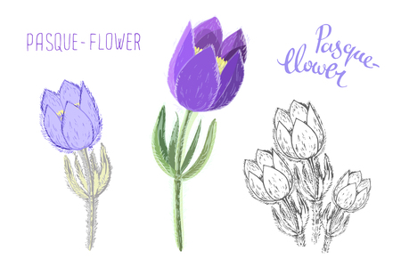 Small pasque flowers isolated on white background. Botanical drawing of perennial poisonous flowering plant used in traditional medicine or phytotherapy. Colored realistic floral vector illustration. Imagens - 126507365