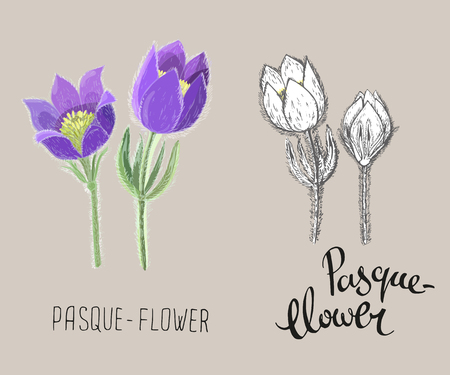 Small pasque flowers isolated on beige background. Colored realistic and black and white ink floral vector illustration. Botanical drawing of perennial poisonous flowering plant used in traditional medicine or phytotherapy.