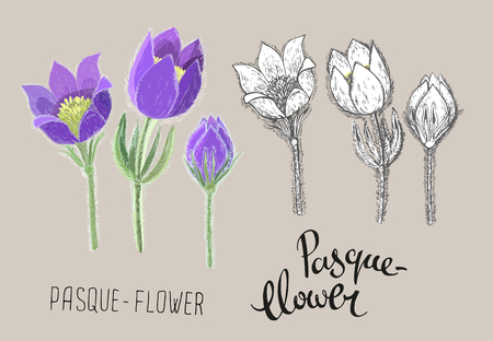 Vector pasque flowers isolated on beige background. Colored realistic and black and white ink floral hand drawn illustration. Botanical drawing of perennial poisonous flowering plant used in traditional medicine or phytotherapy. Imagens - 126461373
