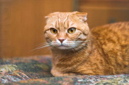 Serious red Scottish Fold cat lies on the rug.