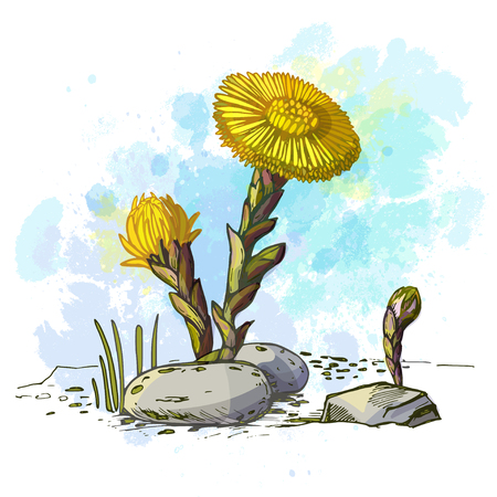 Hand-drawn yellow spring wildflowers. Color drawing mother and stepmother. Vector imitation of watercolor background Stock Photo