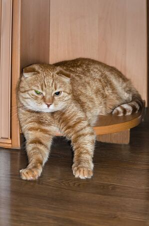 beautiful red Red Scottish Fold cat resting on the corner of the semicircular bottom shelf of the cabinet.