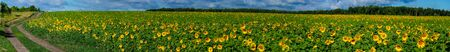 Panorama with a rural road that runs along the edge of a sunflower field