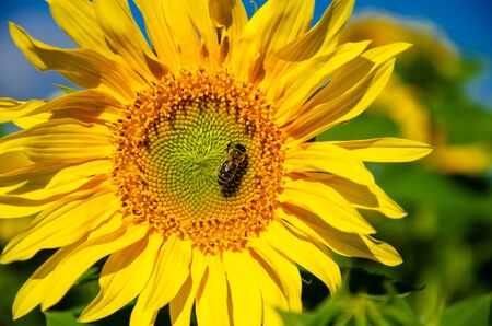 Bee on a flower of a sunflower against the blue sky Stock Photo