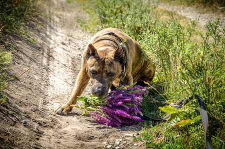 A dog with a bouquet in his teeth is sitting on a rural road. Red Pitbull puts a bouquet on the road
