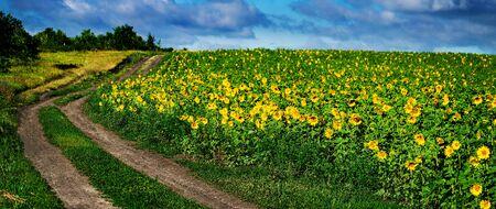Rural dirt road passing along a sunflower field