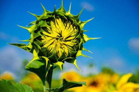 Green blossoming flower of a sunflower against the blue sky Stock Photo