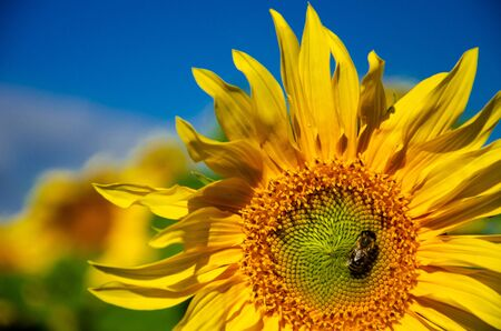 Yellow flower of a sunflower with a bee against the blue sky.