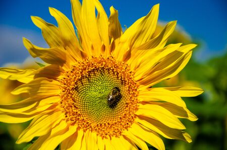 Bee on a flower of a sunflower against the blue sky.
