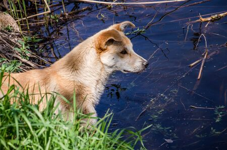 red mongrel dog looks at water.
