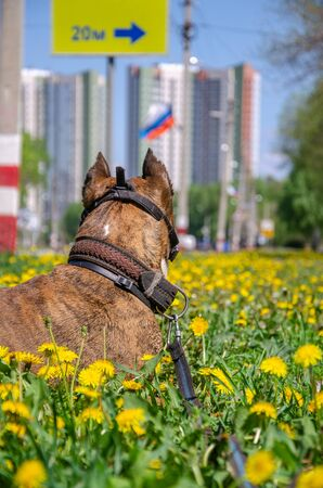 the dog lies on the lawn with flowering dandelions and looks into the distance on the city Stockfoto