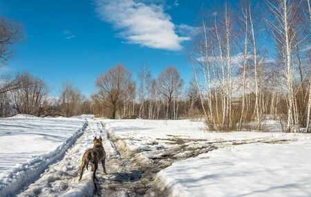 Red striped dog stands on a dirty spring road among a snowy field and looks into the distance.