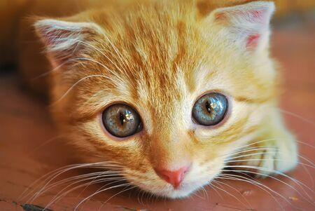 Portrait of a little red kitten close up. Crossbreed scottish fold.