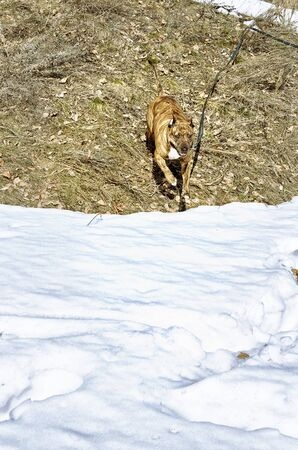 Red striped pit bull on the border of snow and thawed last years grass. The dog is going to meet the viewer.