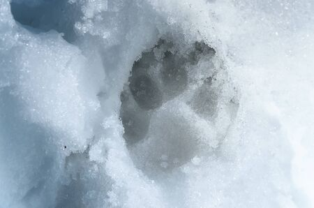 The imprint of a dogs paw on the spring snow melted. 写真素材