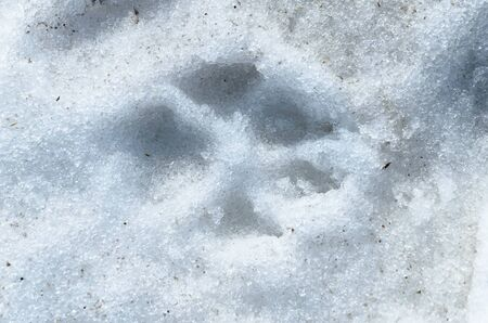 Trail of dog paws on spring snow.