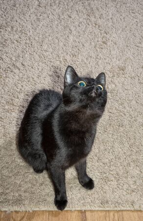 Black cat sits on a light fluffy carpet and looks up 写真素材