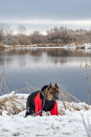 A photograph of a freezing lake in the background of which stands a dog the Staffordshire Terrier in a red jumpsuit is generated in the snow