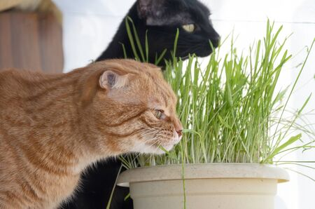 A photograph of a red fold cat and a black cat eating grass from a flower pot.