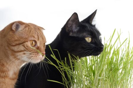 A photograph of a red fold and a black cat eating grass. Focus on the black cat Stock fotó