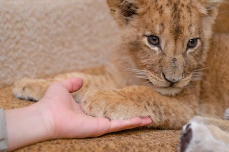 Photo of a lion cub who put a paw in a mans hand. Close-up of a muzzle of a lion cub, his paw and a human arm
