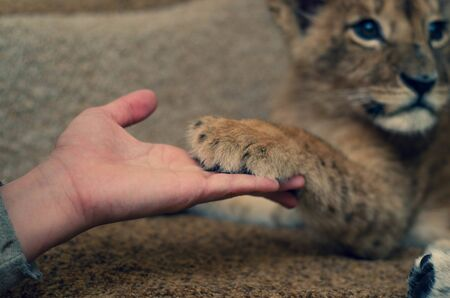 Photo of a lion cub that gave a paw to a mans hand. Close-up of a muzzle of a lion cub, his paw and a human arm