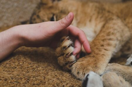 Photo of a lion cub that hugs its paws. Close-up of a muzzle of a lion cub, his paw and a human arm Banco de Imagens