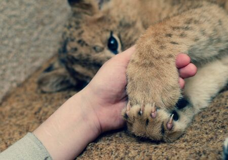 Photo of a lion cub that hugs a human hand with its paws. Close-up of a muzzle of a lion cub, his paw and a human arm