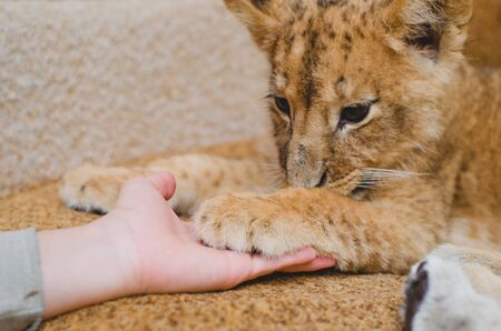 Photo of a lion cub that gave a paw to a man. Close-up of a muzzle of a lion cub, his paw and a human arm Banco de Imagens