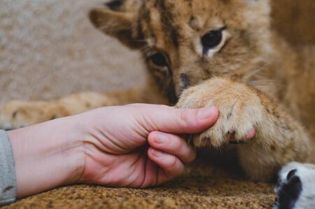 Photo of a lion cub, which the man holds by the fingers of his paws. Close-up of a muzzle of a lion cub, his paw and a human arm