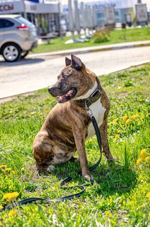 Photo of the Staffordshire Terrier near the house.