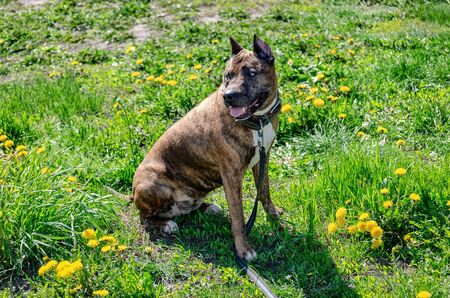 Photo of the Staffordshire Terrier on bright green grass. Banco de Imagens