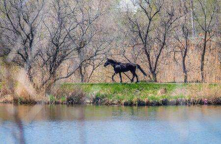 Photo of a black horse galloping along the lake.