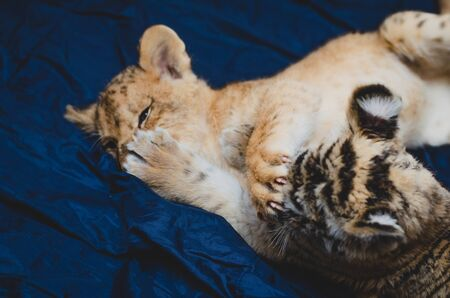 Photo of a paw with claws of a lion cub on the face of a tiger cub. Banco de Imagens