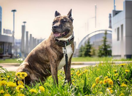 Photo of the Staffordshire Terrier on a background of white buildings. Banco de Imagens