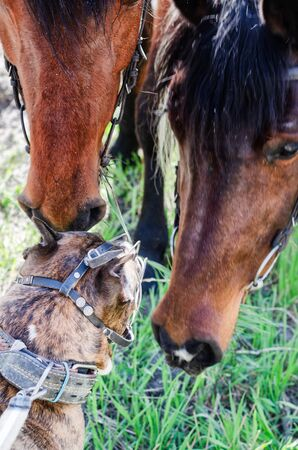 Photo of the Staffordshire Terrier who gets to know horses.