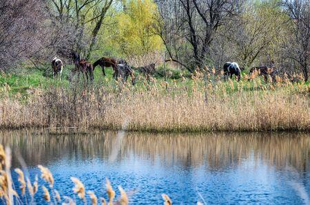 Photo of horses on the lake