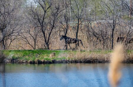 Photo of a black horse galloping along the shore.