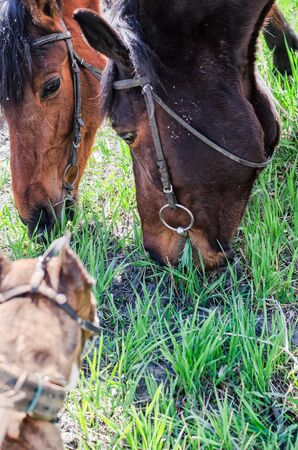 Photo of a staffordshire terrier who sniffs with horses