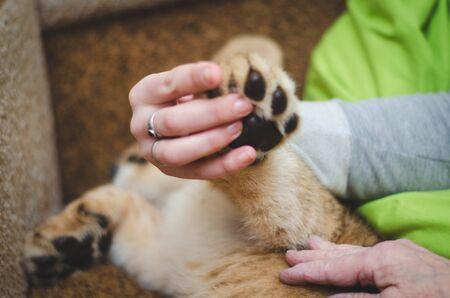 Photo of a paw of a lion cub in a human hand Banco de Imagens