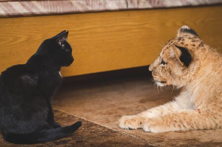 Photo of a black cat and a lion cub opposite each other
