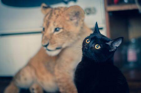 Photo of a domestic black cat on a background of a lion cub Banco de Imagens