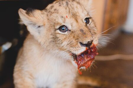 Photo of a lion cub that eats meat with blood