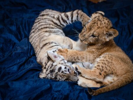 Photo of the game of a lion cub and a tiger cub on a blue background where