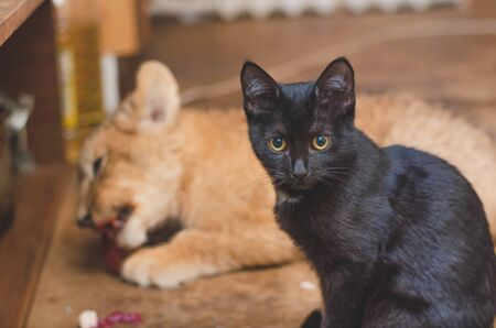 Photo of a black cat on a day plan a lion cub eating meat